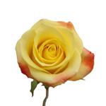 Florida Strawberry Kiss Yellow Rose Stem
