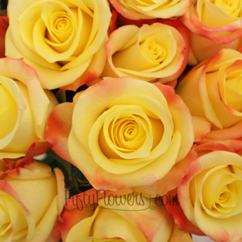 Florida Strawberry Kiss Yellow Roses up close
