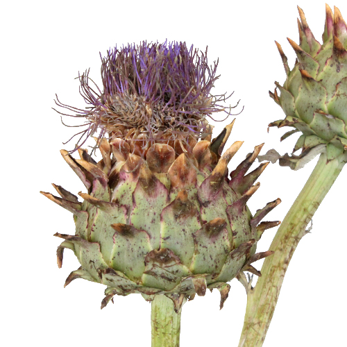Flowering Artichoke For Flower Arranging
