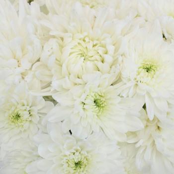 Wedding White Dahlia Style Cremon Pack