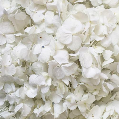White Hydrangea Flower Petals