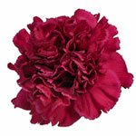 Freya Magenta Carnation Flower Bloom