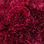 Freya Magenta Wholesale Carnations Up close