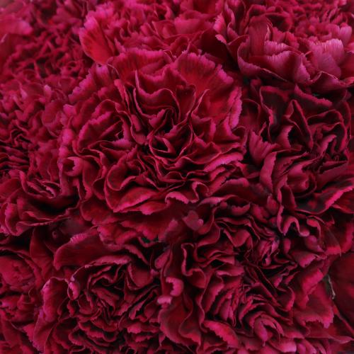 Deep Velvet Carnation Flowers