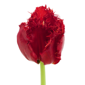 Scarlet Frill Wedding Tulip