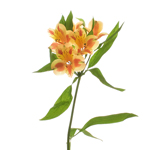 Fruit Punch alstroemeria Wholesale Flower Stem
