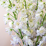 Delphinium Full Moon Blue and White Wholesale Flower Up close