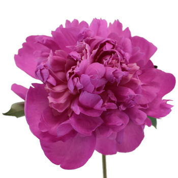 Gilbert Barthelot Peony Flower November Delivery