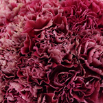 Ganache Magenta and Wine Wholesale Carnations Up close