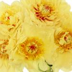 Garden Treasure Yellow Peonies up close