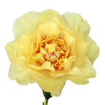 Garden Treasure Yellow Peony Stem