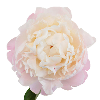 Gardenia Blush Peony Stem