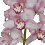 White Cymbidium Bulk Orchid Flower