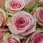 Bulk Rose Geraldine Light Pink