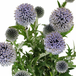 Thistle_Blue_Fresh_Flower