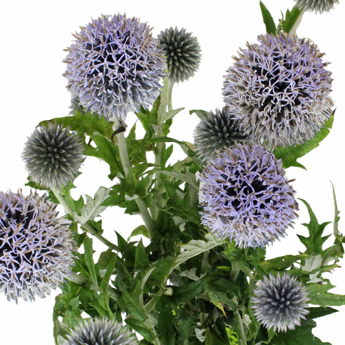 Globe Thistle Ecnichops Wholesale
