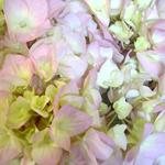 Giant Garden Pink Hydrangea Flower Up Close