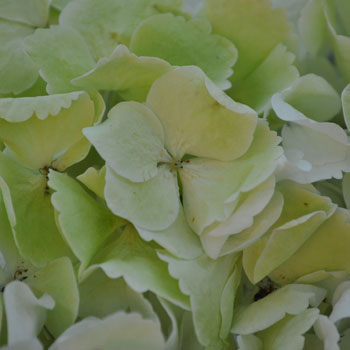 Giant Pale Green Hydrangea Flower Up Close