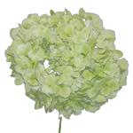 Giant Pale Green Hydrangea Stem View