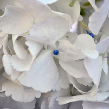 Giant Pure White Hydrangea Flower Up Close