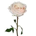 Ginger Cream Garden Rose Stem