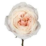 Ginger Cream Garden Rose Side Stem View