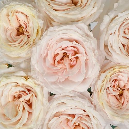 Ginger Cream Garden Roses up close