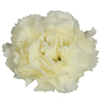 Gioele Crema Cream Carnation Flower Bloom