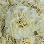 Gioele Crema Cream Wholesale Carnations Up close