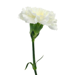 Gioele Crema Cream Carnations side stem
