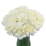 Cream Bulk Carnation flowers