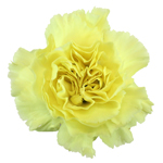 Giole Yellow Carnation Flower Bloom