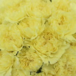 Giole Yellow Wholesale Carnations Up close