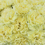Giole Yellow Carnations side stem