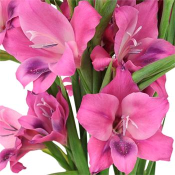 Pink Splash Mini Gladiolus Flowers