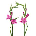 Bulk Hot Pink Gladiolas Flowers