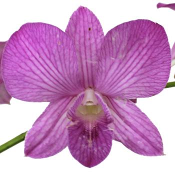 Glitzy Ribbons Fresh Orchid Lei