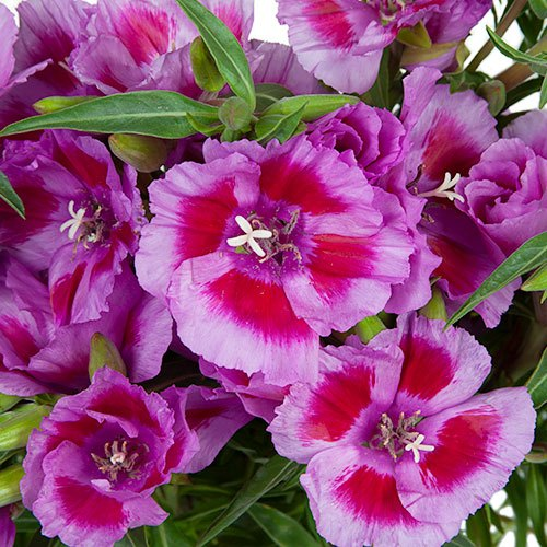 Bicolor Lavender with Hot Pink Godetias