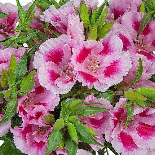 Bicolor Pink Godetia Flowers