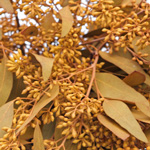 Gold Orange Seeded Eucalyptus Wholesale