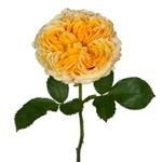 Golden Apricot Garden Rose Stem