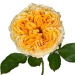 Golden Apricot Garden Rose Stem Close Up