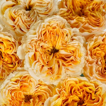 Golden Apricot Garden Roses up close