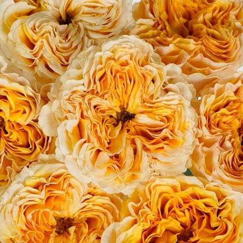 Golden Apricot Garden Roses up close