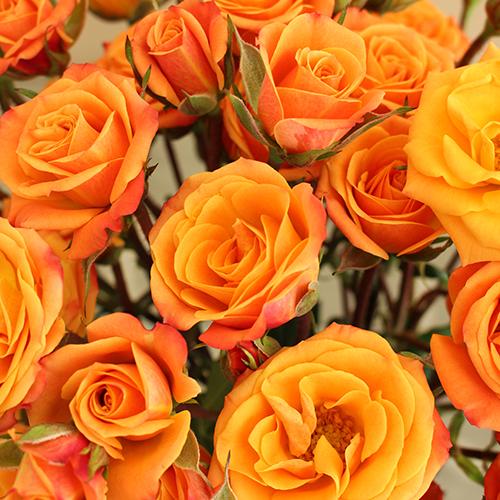 Golden Melon Spray Roses up close