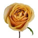 Golden Mustard Garden Rose Stem