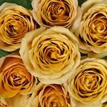 Golden Mustard Garden Roses up close