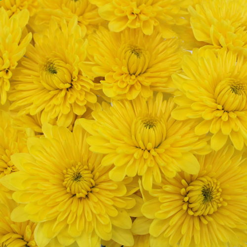 Yellow Dahlia Style Cushion Flower