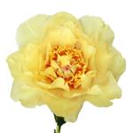 Golden Treasure Yellow Peony Stem