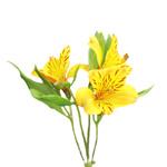 Golden Yellow alstroemeria Wholesale Flower Stem